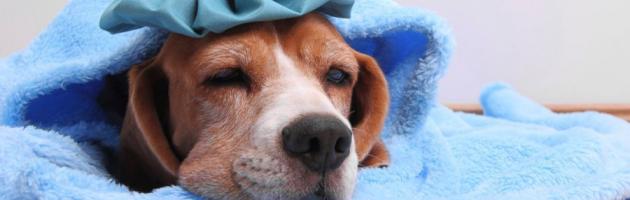 Pies przeziębienie, pies pod kocem.