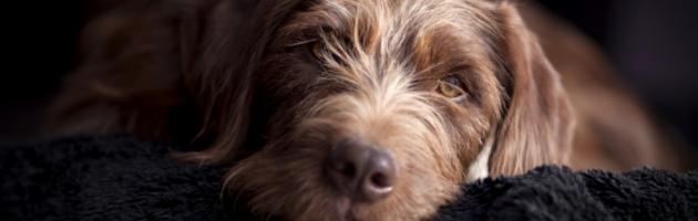 Brązowy pies patrzy przed siebie.