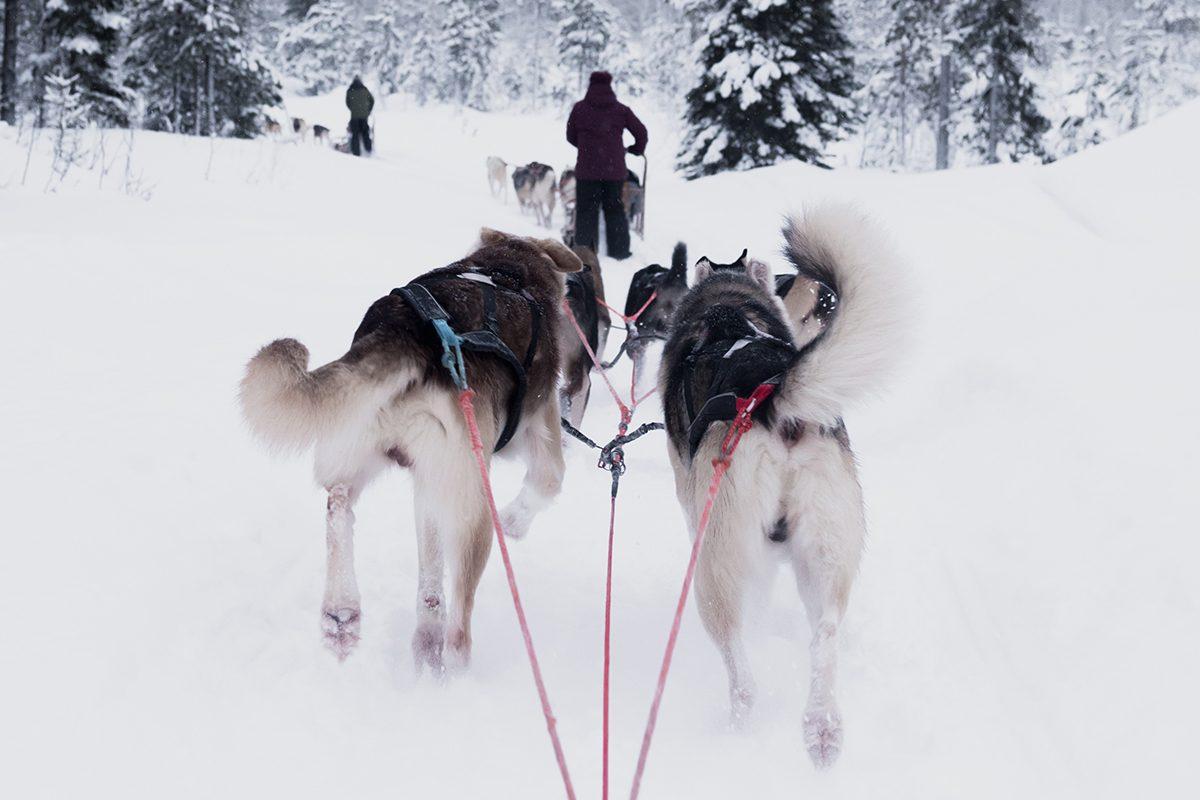 Psi zaprzęg. Husky biegnące po śniegu.