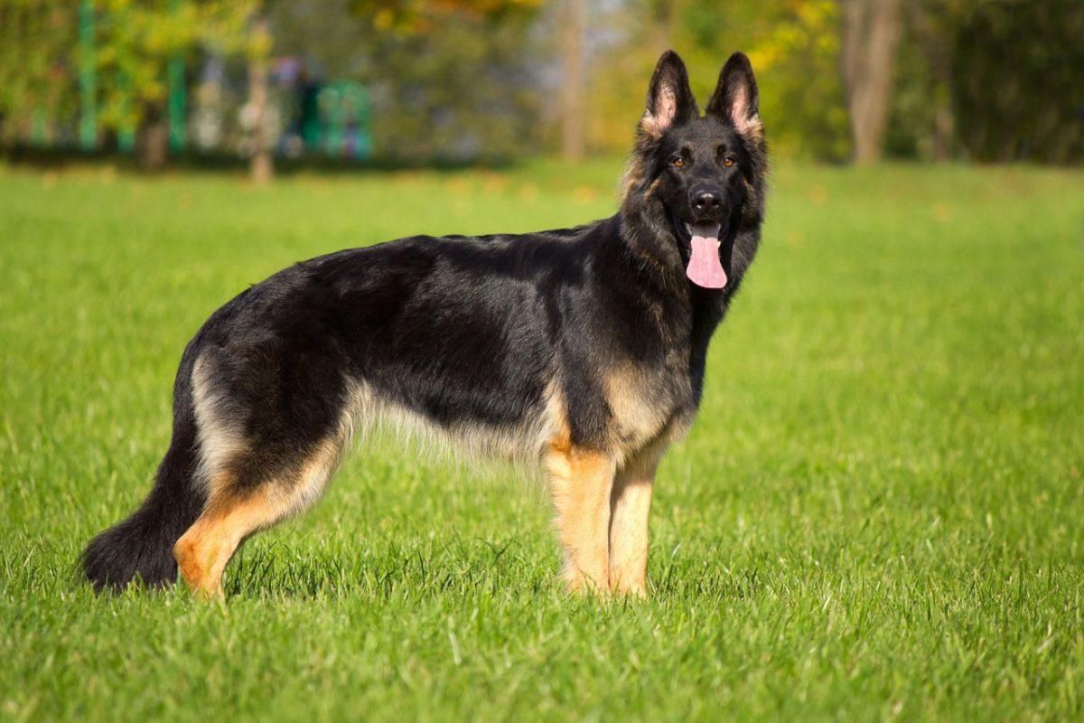 Best Outdoor Guard Dog