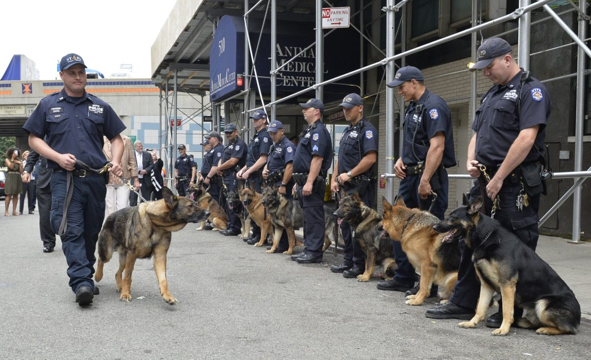 NYPD Transit K9 Bear leaves animal hospital. About dozen K-9's  from Transit and ESU, accompanied by their handlers formed a honor guard as K-9 Bear accompanied by his handler P.O. Vincent Tieniber  and Police commissioner Ray Kelly walk out of the Animal Medical Center in Manhattanat noon today (510 East 62 street, of York avenue). The 6 year log german shepherd was injured in the line of duty last week. Bear sustained four broken teeth and a laceration to his tongue, along with scuff marks to his snout, in aiding his handler P.O. Tieniber in subduing and arresting a female suspect.