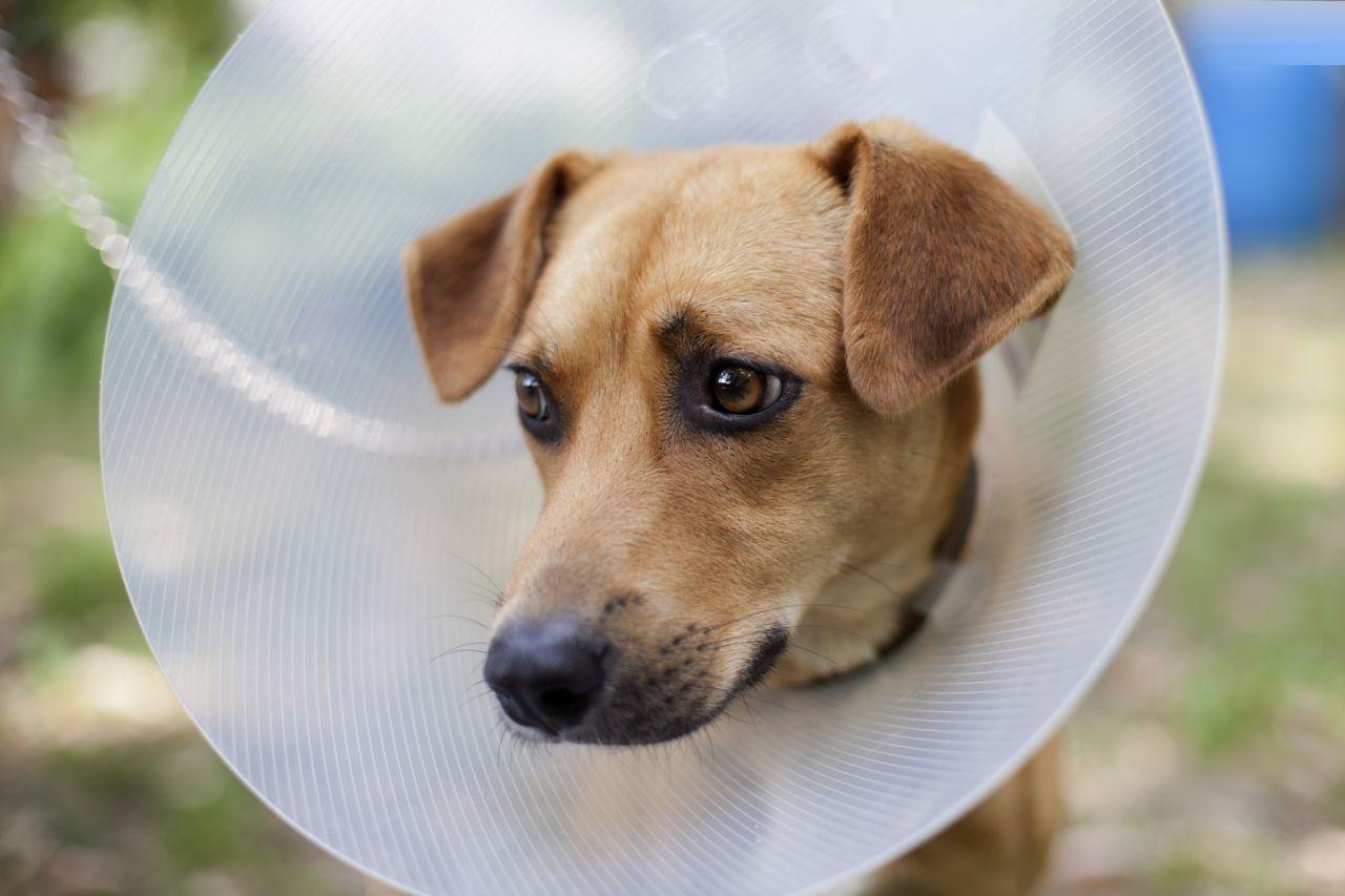 Kołnierz Ochronny Dla Psa Blog Zdrowy Pies