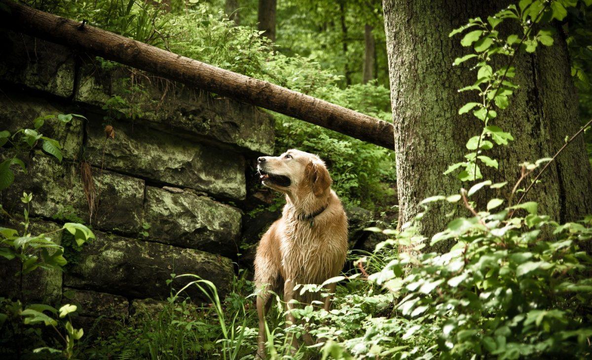 Pies kleszcz. Pies w lesie. Pies z kleszczami.