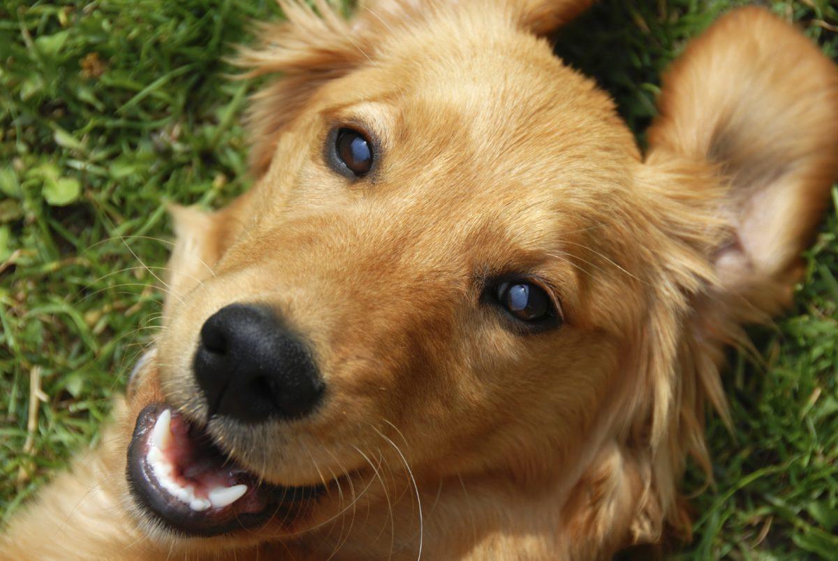 Pies golden retriever uśmiecha się. Psi węch.
