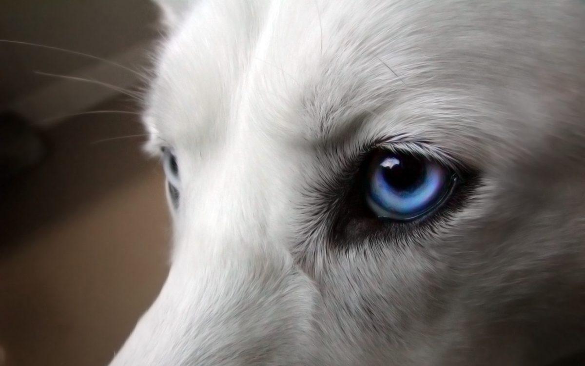 Psi wzrok. Oczy psa.