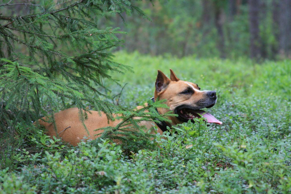 Pies w lesie. Pies z kleszczami.