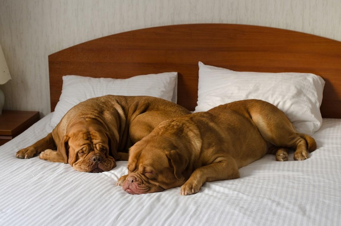 Dwa psy leżą na łóżku, hotel na psów.