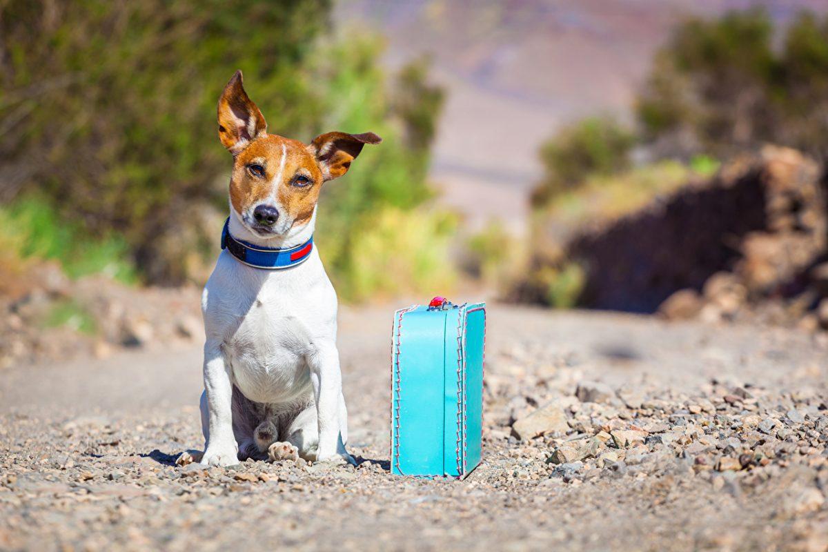 Pies w podróży. Pies z walizką.