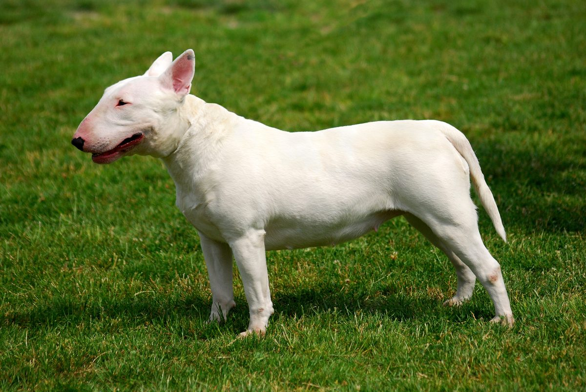 Pies bulterier, bulterier stoi na trawie.