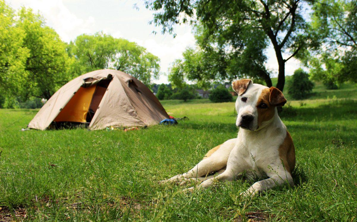 Pies leży przed namiotem.