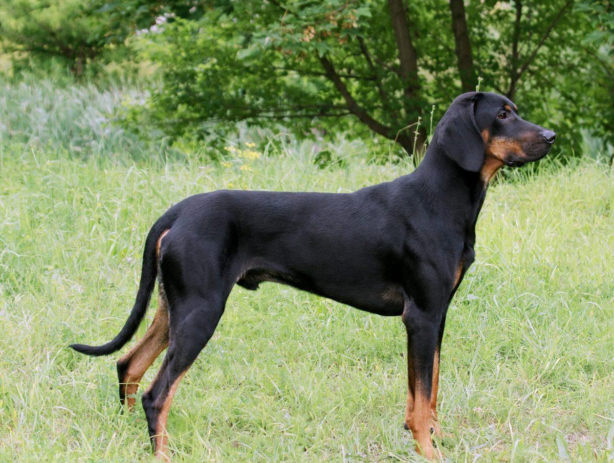 Pies gończy, gończy polski na tle trawy.