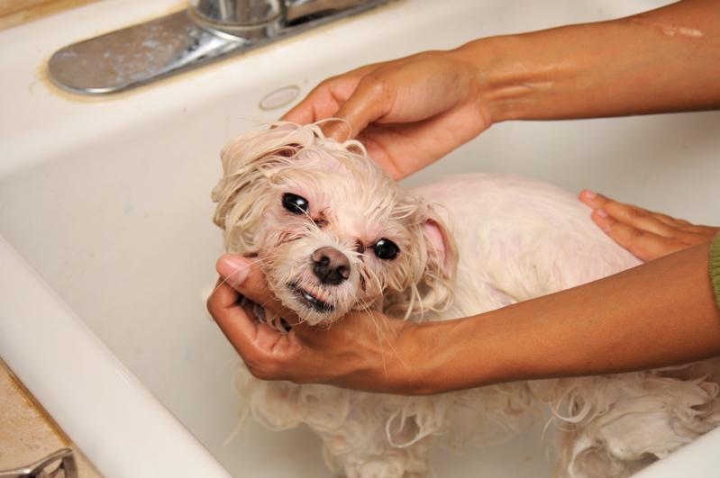 Pies kąpiący się w wannie, umywalce. Mokry pies. Pielęgnacja psa. Psi fryzjer.