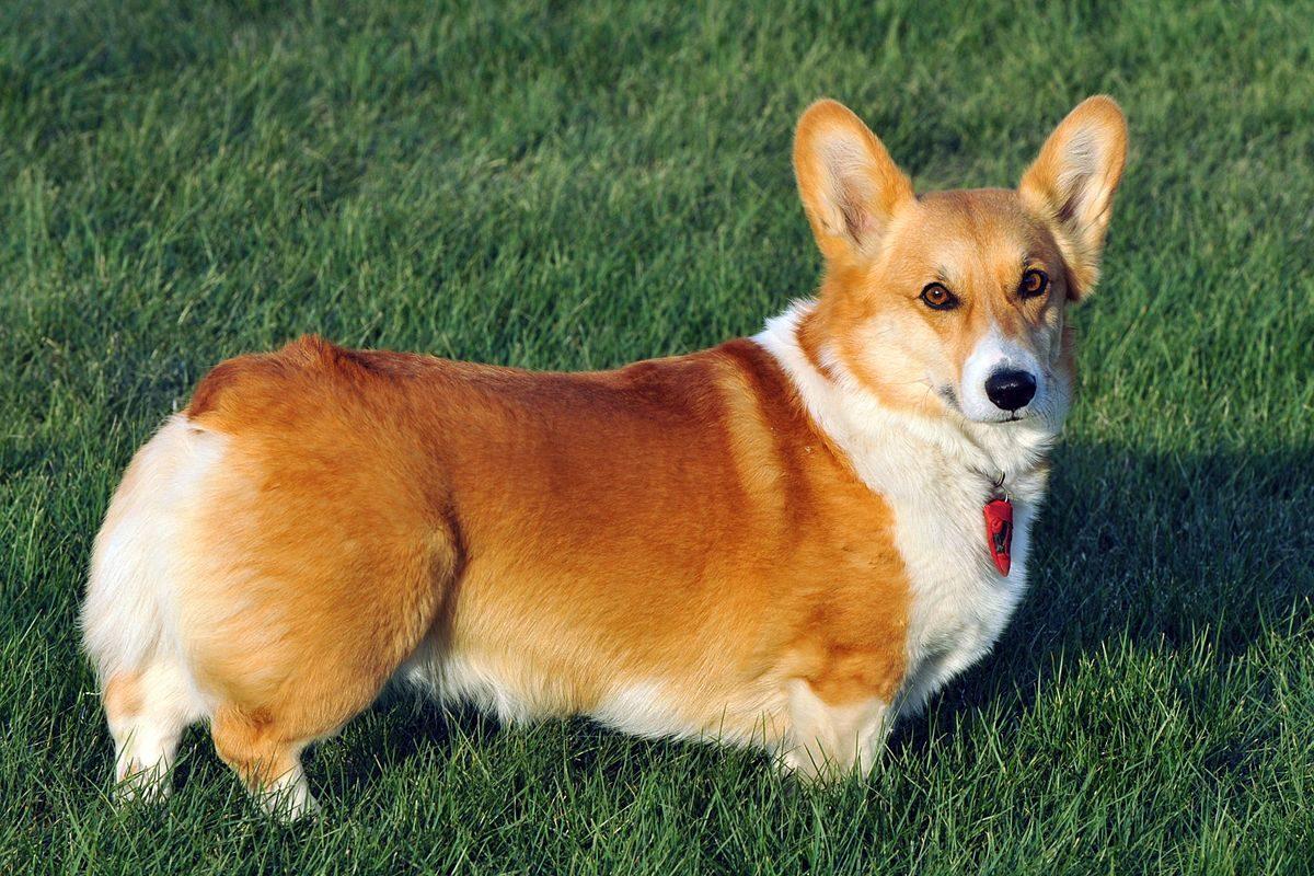 Pies welsh corgi cardigan, pies corgi leży na trawie.