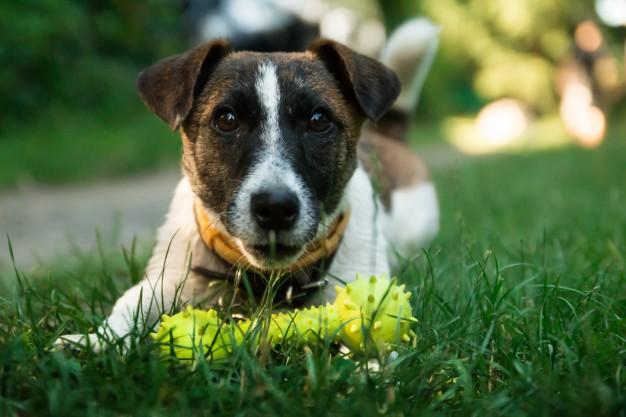Pies odblaski, pies z zabawką. Pies leżący na trawie.