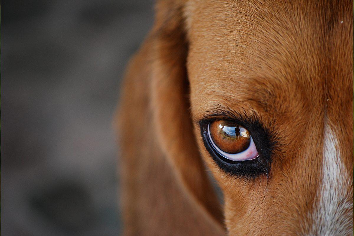 Oczy psa w powiększeniu, psi wzrok.