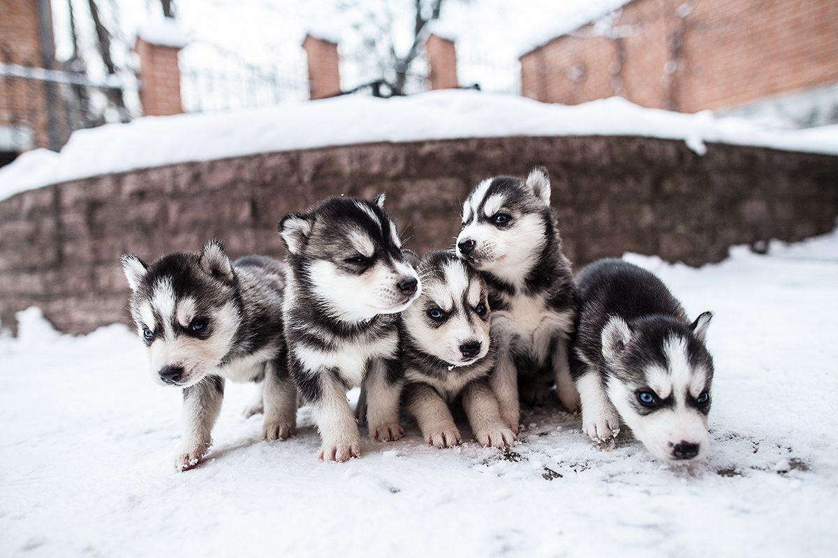 Grupa szczeniaków, dużo szczeniaczków. Szczeniak na śniegu.