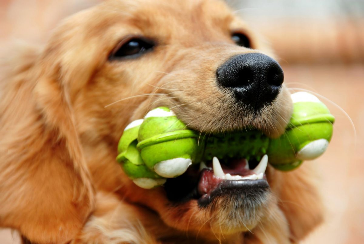 Pies z zabawką w pysku.
