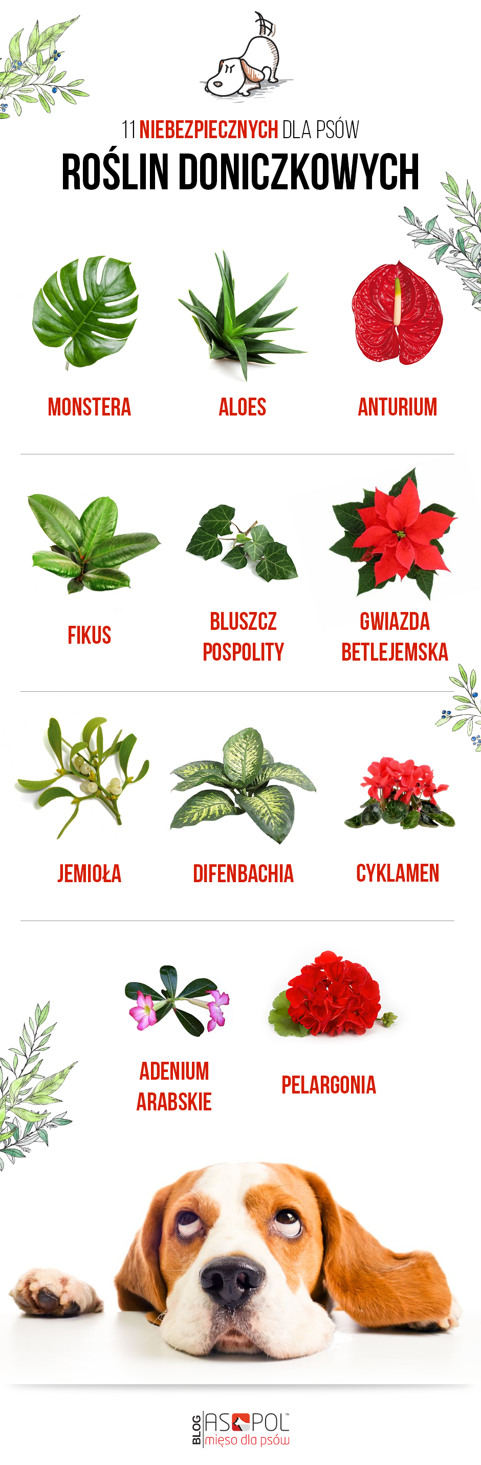 Trujące dla psów rośliny doniczkowe infografika.