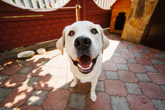 pies-z-głębokimi-żołtymi-oczami-stoi-na-łańcuchu_8353-608